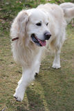 El recorrer del perro del perro perdiguero Imagen de archivo libre de regalías