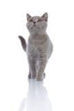 El recorrer gris del gatito Fotografía de archivo libre de regalías