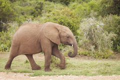 El recorrer joven del elefante Imagen de archivo libre de regalías