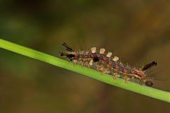 El recorrer lento de la mariposa del antiqua de Orgyia arriba Foto de archivo libre de regalías