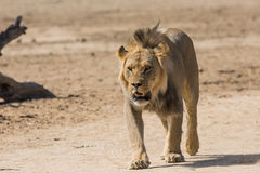 El recorrer masculino del león Foto de archivo