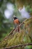 El Redstart común Fotos de archivo libres de regalías
