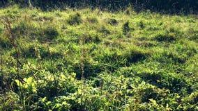 El reflejo de hilos de araña en hierba en luz del sol almacen de video