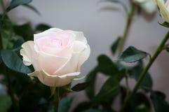 El regalo perfecto para una muchacha blanda, una rosa delicada con un centro rosado imagen de archivo libre de regalías