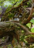 El registro de un árbol viejo cubrió con el musgo y los liquenes en el sao Miguel a Fotografía de archivo libre de regalías