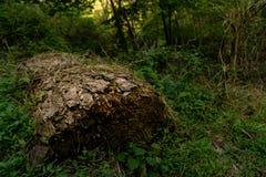 El registro seco y decaído a la izquierda murió en el bosque foto de archivo libre de regalías