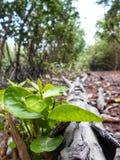 El renacimiento de las viejas tallas de madera del árbol, en bosques del mangle foto de archivo libre de regalías