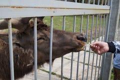El reno come las galletas, que ofrece al visitante en el parque zoológico Foto de archivo libre de regalías
