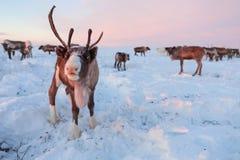 El reno en los pastores del reno de Nenets acampa Imágenes de archivo libres de regalías