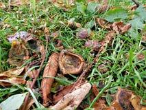 El residuo de la castaña en hierba con las hojas Imagen de archivo libre de regalías