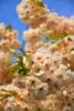 El resorte blanco hermoso florece (el triloba del Prunus) Imágenes de archivo libres de regalías