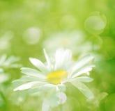 El resorte florece la margarita y la hierba con luz del sol Fotos de archivo libres de regalías