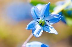 El resorte florece (Scilla Sibirica) Fotos de archivo libres de regalías