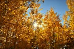 El resplandor del sol a través de árboles de oro del álamo temblón Fotos de archivo libres de regalías
