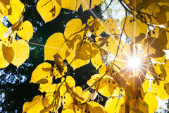El resplandor solar brillante a través del tilo amarillo se va en otoño Fotografía de archivo