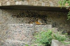 El resto del tigre en una pluma en el fondo de una pared de piedra en el parque zoológico en Kiev foto de archivo libre de regalías