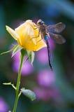 El retén de la libélula en amarillo de la flor se levantó foto de archivo