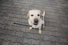 El retiever blanco de Labrador se sienta en la tierra Fotos de archivo libres de regalías