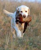 El retrato amarillo dulce del perrito de Labrador en color gotea Foto de archivo libre de regalías