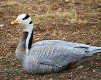 El retrato barra-dirigió gansos del ganso Fotos de archivo