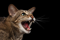 El retrato Cat Hisses oriental agresiva del primer en perfil, se ennegrece aislado Fotos de archivo