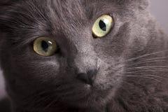 El retrato cercano de un amarillo femenino gris del gato observa Foto de archivo