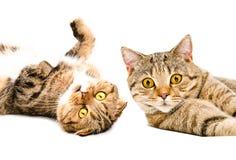 El retrato de dos escoceses de los gatos dobla y recto escocés Imagen de archivo libre de regalías