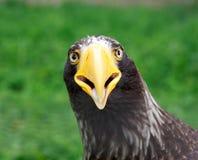El retrato de Eagle del mar de Steller Imágenes de archivo libres de regalías