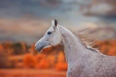 El retrato de Grey Arabian Horse en el otoño foto de archivo libre de regalías