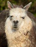 El retrato de la alpaca le gusta la pequeña llama Imagenes de archivo