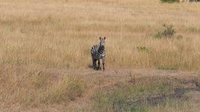 El retrato de la cebra africana en la sabana que mira la cámara entonces da vuelta a su cabeza almacen de video