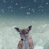 El retrato de la gama manchada de los ciervos en barbecho Fotos de archivo