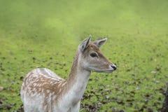 El retrato de la gama manchada de los ciervos en barbecho Foto de archivo libre de regalías