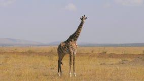 El retrato de la jirafa adulta africana se coloca y mira en la cámara en sabana metrajes