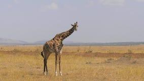 El retrato de la jirafa adulta africana se coloca y mira en la cámara en sabana almacen de video