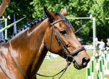 El retrato de la vista lateral de un caballo de la doma de la bahía durante el entrenamiento aventaja Fotos de archivo libres de regalías