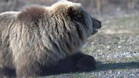 El retrato de las mentiras salvajes hambrientas del oso marrón en piedras, respira y mirando alrededor almacen de video