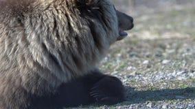 El retrato de las mentiras salvajes hambrientas del oso marr?n en piedras, respira y mirando alrededor Enfoque adentro almacen de metraje de vídeo