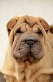 El retrato de los sharpei del perrito foto de archivo