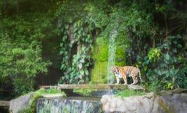 El retrato de los tigres siberianos se está colocando fotos de archivo libres de regalías