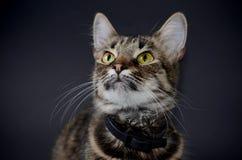 El retrato de un gato gris adoptado hermoso con amarillo brillante observa en un fondo del blak Foto oscura Foto de archivo