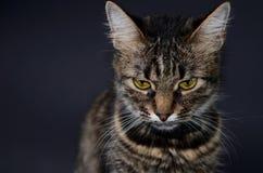 El retrato de un gato gris adoptado hermoso con amarillo brillante observa en un fondo del blak Foto oscura Imagen de archivo