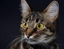 El retrato de un gato gris adoptado hermoso con amarillo brillante observa en un fondo del blak Foto oscura Imagenes de archivo