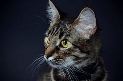 El retrato de un gato gris adoptado hermoso con amarillo brillante observa en un fondo del blak Foto oscura Fotografía de archivo libre de regalías