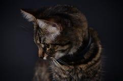 El retrato de un gato gris adoptado hermoso con amarillo brillante observa en un fondo del blak Foto oscura Imagen de archivo libre de regalías