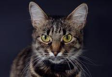El retrato de un gato gris adoptado hermoso con amarillo brillante observa en un fondo del blak Foto oscura Foto de archivo libre de regalías