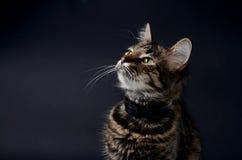 El retrato de un gato gris adoptado hermoso con amarillo brillante observa en un fondo del blak Foto oscura Fotografía de archivo