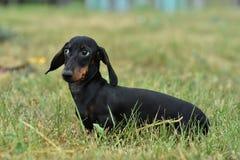 El retrato de un negro del perro basset del perro broncea en hierba foto de archivo libre de regalías