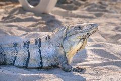 El retrato de un negro espinoso-ató la iguana, la iguana negra, o el ctenosaur negro Similis de Ctenosaura fotos de archivo libres de regalías