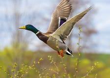 El retrato de un pato hermoso con estirado hacia fuera se va volando fotos de archivo libres de regalías